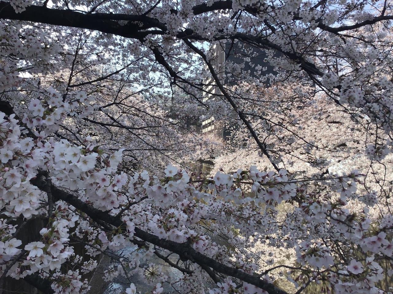 20190331sakura_syakujiigawa